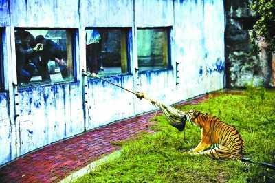 """长沙动物园""""人虎拔河""""引争议 称为增强老虎野性"""