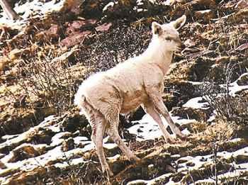 我国首次发现野生白色马鹿 专家判断源自基因突变