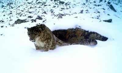 三江源地区雪豹估算在一千只以上,是全球连片分布最集中地区
