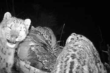 国内首次拍到雪豹捕食牦牛高清视频